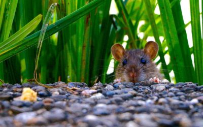 Dealing With Rodents In Your Home